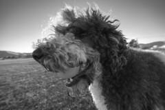Dog Loves Ball (JasonCameron) Tags: monochrome black white dog poodle fur ball fuzz fuzzy weird wild wacky