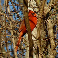 Northern Cardinal (Dendroica cerulea) Tags: northerncardinal cardinaliscardinalis cardinalis cardinalidae passeroidea passerida passeri passeriformes passerimorphae psittacopasserae eufalconimorphae neoaves neognathae aves bird cardinal winter highlandparkmeadows highlandpark middlesexcounty nj newjersey