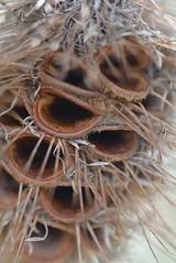 Pine Cone?? (Toronto_hardhat) Tags: pinecone tasmania flora