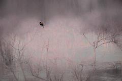 Red Wing Black Bird - Photo Art (Modkuse) Tags: photoart art redwing blackbird nikon film