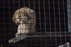 ツシマヤマネコ 画像2