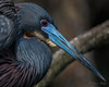 "Tricolored Heron ""Hot"" (barnmandb65) Tags: tricolored heron breeding color blue red eyes intense closup nature"
