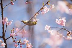 _DSC0824.jpg (plasticskin2001) Tags: mejiro sakura flower bird