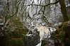 River Braan (peterslaing) Tags: river falls braan hermitage dunkeld perthshire trees snow rapids