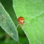 Chrysomelidae. Chrysomelidae. Neocrepidodera sp. prob thumbnail