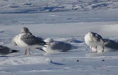 GLGU DSC09881 (clausholzapfel) Tags: gull glaucous herring american
