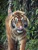 sumatran tiger Emas Blijdorp BB2A2961 (j.a.kok) Tags: tijger tiger emas sumatraansetijger sumatrantiger mammal animal blijdorp kat cat zoogdier dier predator asia azie sumatra pantheratigrissumatrae