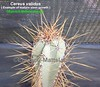 Cereus validus (Pic #8 example of mature stem growth-close up of spines & ribs) (mattslandscape) Tags: cereus validus cactus cacti kakteen piptanthocereus forbesii hankeanus plant
