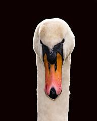 Swan (Dec Roche) Tags: swan portrait wildlife wexford repofireland birds nature nikon nikon300mmf4 nikond7200