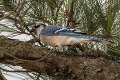 Blue jay (Cyanocitta cristata) (famasonjr) Tags: bluejaycyanocittacristata bird blue jay cyanocitta cristata tree limb pine wild life nature backyard feathers winter canon eos 7d canonef70300mmf456isiiusm bark wildlife usa tennessee ngc