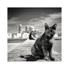 ... (ángel mateo) Tags: ángelmartínmateo ángelmateo cádiz andalucía españa catedraldecádiz malecóndecádiz atlántico muro gato mirada mar andalusia spain cathedralofcádiz atlantic wall cat look sea