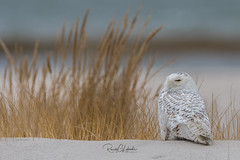 Snowy Owls of New Jersey | 2018 - 2 (RGL_Photography) Tags: birding birds birdsofprey birdwatching buboscandiacus gardenstate jerseyshore monmouthcounty mothernature nature newjersey nikonafs600mmf4gedvr nikond500 ornithology owls raptors snowyowl us unitedstates wildlife wildlifephotography beachowl