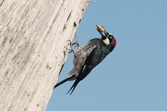 DSC_5793.jpg Acorn Woodpecker, Twin Lakes (ldjaffe) Tags: acornwoodpecker schwanlake twinlakes