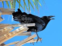 Raven squawking (thomasgorman1) Tags: raven birds blackbird black tree palmtree mexico canon outdoors nature portrait squawking noisy