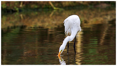 大白鷺   Great egret – Ardea alba (Alice 2018) Tags: nature hongkong 2018 canonef300mmf4lisusm canoneos7d eos7d canon 300mm bokeh wetland white reflection water bird spring aatvl01