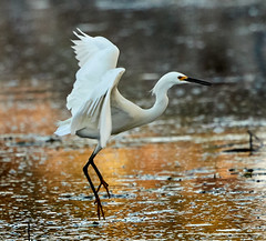 02-08-18-0002959 (Lake Worth) Tags: animal animals bird birds birdwatcher everglades southflorida feathers florida nature outdoor outdoors waterbirds wetlands wildlife wings