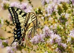 El macaón o mariposa rey ... Papilio machaon .... es una de las mariposas más espectaculares que tenemos por Andalucía. Existen multitud de especies muy bonitas, pero por su tamaño, colorido y formas ésta es quizás una de las más vistosas.  : (EMferrer) Tags: lepidoptera mariposasespaña fotografiamacro macrobrilliance mariposa insectsinstagram mariposas insectos insecto topmacro lepidoptero naturelovers mariposarey butterfly macrophotograph macrofotografia macaon papilio insect wildlife macrocaptures lepidopteros macrobutterfly papiliomachaon bestmacro mariposadiurna macrofoto distrysia macroshot naturaleza