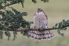 Sparrowhawk (Accipiter nisus) (phil winter) Tags: sparrowhawk accipternisus juvenilemale raptor yewtree