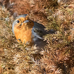 Robin (Erithacus rubecula) (picsfolio) Tags: birds wildbirds robin birdwatching birding nature wildlife naturalworld gardenbirds backyardbirds canon7dmkii eos7d ef400l powys builthwells springtime