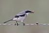 Loggerhead Shrike (Alan Gutsell) Tags: birds bird wildlife nature texasbirds texas southtexasbirds wildlifephoto canon alan loggerhead shrike loggerheadshrike vireo migration