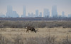 Whitetail Buck and the Denver Skyline (ap0013) Tags: whitetail buck deer rocky mountain arsenal denver colorado whitetaildeer whitetailbuck rockymountainarsenal denvercolorado denverco nationalwildliferefuge nwr