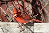 Northern Cardinal. (Gillian Floyd Photography) Tags: northern cardinal male red bird