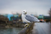 DSC_1087 (cdowney1981) Tags: newyorkcity nyc seagull hudsonriver