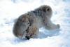 _MG_0133 (Nekogao) Tags: 日本 長野県 山ノ内町 中部地方 地獄谷野猿公苑 日本猿 サル 猿 温泉 冬 japan nagano naganoprefecture yamanouchi chubu jigokudanimonkeypark snowmonkeys snowmonkey monkey monkeys onsen hotspring macaque japanesemacaque bathing winter
