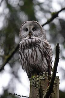 Great grey owl / lapinpöllö