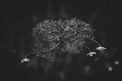 A former flower (bluishgreen12) Tags: flower botanical petals blackandwhite winter bnw monochrome sarajevo vintagelens canonfl canon35mm bokeh