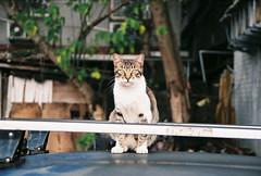 (YL.H) Tags: 台北 貓 底片 吳興新村 taiwan taipei canon cat film analog agfa 500n