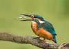 Martin-pêcheur d'Europe  (Alcedo atthis) (francisaubry) Tags: bird waterbird nikon 300mm nikkor martinpêcheur kingfisher aves nikonflickraward