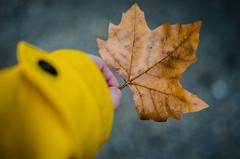 Herbst gefunden (Christina Wieck / Zweitliebefotografie) Tags: blatt herbst fundstück winter regenjacke gelb hand halten autumn unterwegs outdoor nikon
