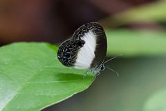 Jamides aruensis umbriel (female) (Kristof Zyskowski and Yulia Bereshpolova) Tags: lycaenidae polyommatinae jamides aruensis umbriel indonesia papua rajaampat waigeo newguinea