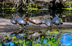 TURTLES (imeshome) Tags: blue log turtles small large reflection green weed duck lake water wildwood park nature swim