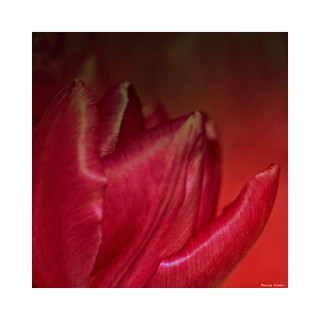 Hot Red Tulip Tip