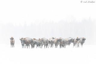 European Bison (6)