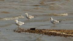 Herring Gull Larus agentatus (- the way I see it -) Tags: herring gull larus agentatus pohickbay fairfaxcountyvirginiausa