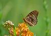 Great spangled fritillary (foxtail_1) Tags: greatspangledfritillary speyeriacybele butterfly fritillarybutterfly craigcreekroad craigcreek panasoniclumixg85 panasonicg85 butterflyweed asclepiastuberosa