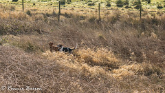 Lost --- in grass!! (RCB4J) Tags: ayrshire rcb4j ronniebarron scotland sony1650mmf28dtssm sonyilca77m2 vizsla art dogs flooddefences galston photography playing running trailhound jakob