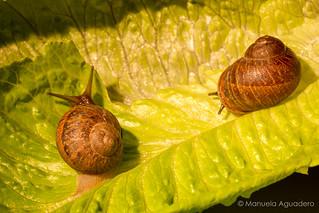 #caracoles #snails #lechuga #lettuce #2016 #málaga #andalucía #españa #spain #photoshoot #shoot #shooting #photoshoot #fotografíadeestudio #estudio #studio #green #sombra #shadow #naturaleza #nature #photographer #photography #picoftheday #canonistas #can