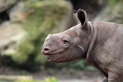 Young black rhino Mara (K.Verhulst) Tags: mara blackrhino zwarteneushoorn neushoorn rhino blijdorp blijdorpzoo diergaardeblijdorp rotterdam ngc