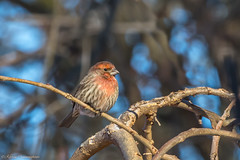 House Finch (hey its k) Tags: birds housefinch nature winter hamilton ontario canada ca img6420e canon6d ef100400mm finch red