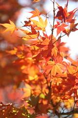IMG_3507 (jumppoint5) Tags: light shadows autumn leaves bokeh colours mitaki hiroshima japan