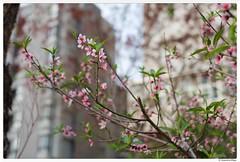 20180220-001 (Aaron Cat) Tags: aaronhsu canon eos 5d markiii canoneos5dmarkiii carlzeissplanart1450 50mm flowers sakura chupei hsinchu taiwan 新竹 竹北 台灣 tree