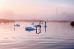 stour valley swans_1970 (mistycrow) Tags: swan swans birds wildlife water river meadows reflections fog mist mistycrow misty landscapes stour valley sudbury suffolk