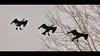 Cormorant sequence (Kike K.) Tags: amateur bird animal canon canon70200f4l fauna bif cormorant duck geese color cloudy blue azure sky light sunlight winter water river splash fish catching hiking walk fly flight feathers beak eye adriatic adria sea mediterranean diving rijeka fiume croatia nature natural wild wings outdoor air freedom clear vranac gnjurac 80d speed runway 2018 february flying sequence