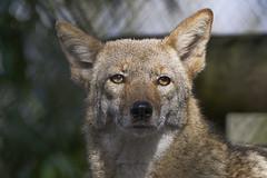Wile E Coyote (ucumari photography) Tags: ucumariphotography naples florida coyote animal mammal canislatrans january 2018 dsc5597 specanimal
