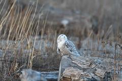 DSC_9875_edit (Hanzy2012) Tags: toronto ontario canada lesliestreetspit tommythompsonpark d500 afsnikkor500mmf4difedii bird wildlife snowyowl buboscandiacus nature wild