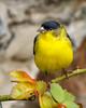 Lesser Goldfinch (Bob Gunderson) Tags: birds california fortmason lessergoldfinch northerncalifornia sanfrancisco spinuspsaltria finches